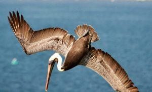 4-pelicans